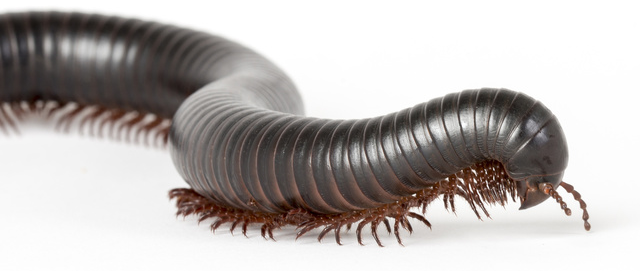 Image result for millipede