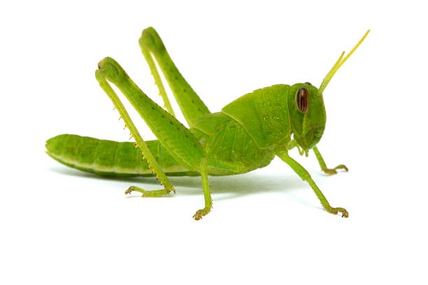 Image result for grasshopper images